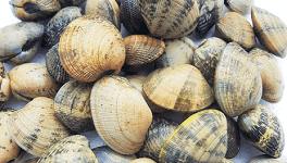 Almeja japónica gallega de Mariscos Currás e Hijos también llamada almeja de cultivo