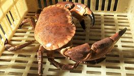 Nuestro buey de mar europeo es considerado un marisco excelente