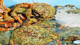 Centolla gallega de tamaño grande, producto fresco y de calidad
