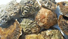 Las piezas de ostra plana gallega se seleccionan por unidad
