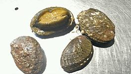 Vendemos oreja de mar gallega en nuestra tienda online