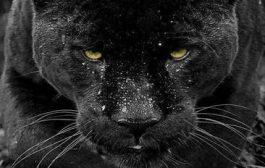"""प्रायोगिक ज्ञान: आप अपनी मातृभाषा में ब्लैक पैंथर को क्या कहते हैं? ... """"पैंथर"""" वह एक रात शिकारी है, शिकार आमतौर पर सुबह या शाम को होता है ... उसके पास दो शिकार तकनीकें हैं: बेलवेदर और नकाबपोश दृष्टिकोण"""