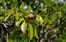 Puerto Morelos, Mexico. Travel Advisory. - Zapote trees for chicle farming to get chewing gum