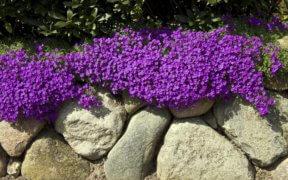 Blühende Blaukissen/Aubrieta auf einer Trockenmauer aus Naturstein