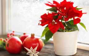 Weihnachtspflanzen und -blüten zur Dekoration