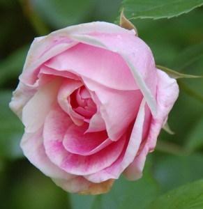 Rose schüchtern