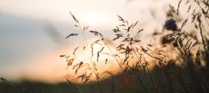 Best Of Bluegrass, Wheat and cornflowers