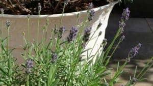 Der Lavendel aus Italien auf der Terasse, muß mit Dünger schwach gedüngt werden.