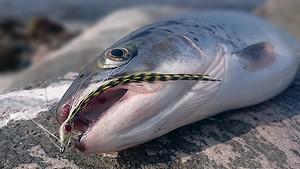 Omøfiskene er vilde med tobis