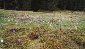 Krokusblüte im Frühling in Aschau Tirol