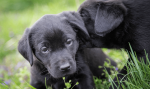 Yew Tree Dog Grooming, Puppies in field