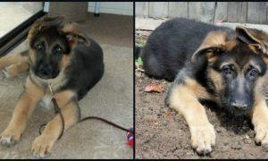 German Shepherd Puppy 13 Weeks Old