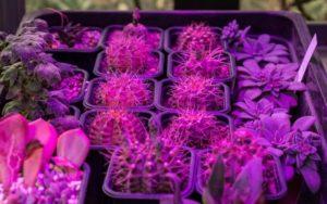 Pflanzenlampen sind perfekt für Sukkulenten im Winter.