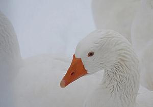 אווז לבן