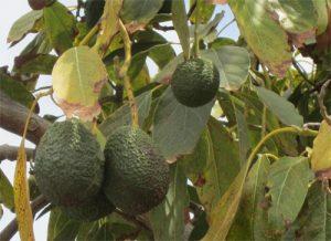 Avocadobaum2