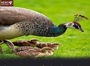 मोर एक चिड़िया है जो अंडे नहीं देता, तो मोर के बच्चे कैसे जन्म लेते हैं?
