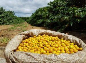 Gele koffiebes van de Brasil Yellow Bourbon