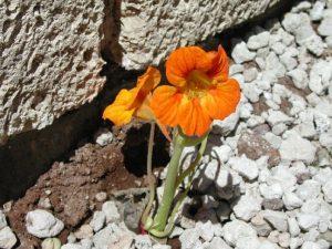 kapuzinerkresse-orange