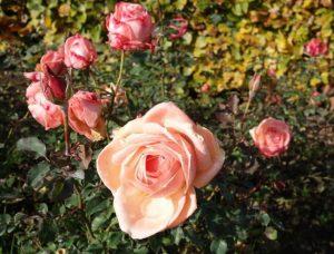 Rosengruppe