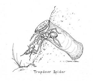 Trapdoor spider catching a cricket