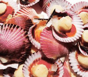 Zamburiña con una presentación en media concha es un producto bivalvo exquisito