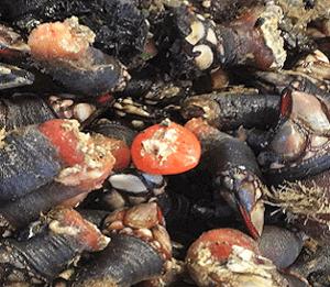 El percebe gallego extra presenta un agradable sabor a mar, jugoso e intenso