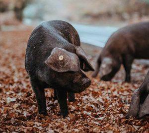 cerdos pata negra