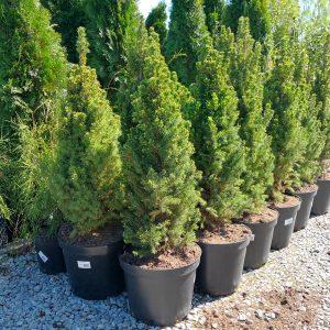Picea glauca 'Conica' Stl.60-70 cm