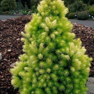 Picea glauca 'Daisy's White' Stl.60-70 cm