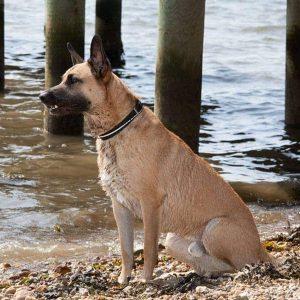 lasota halsbånd til store hunde