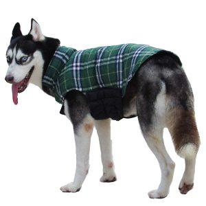 husky siberiano con chaqueta