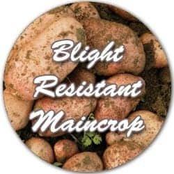 Blight resistant Maincrop