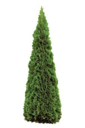 Tuja Smaragd 160-180 cm