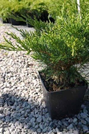 Juniperus ×pfitzeriana 'Mint Julep'