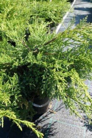 Juniperus-×pfitzeriana-'Pfitzeriana-Compacta'-1024x768