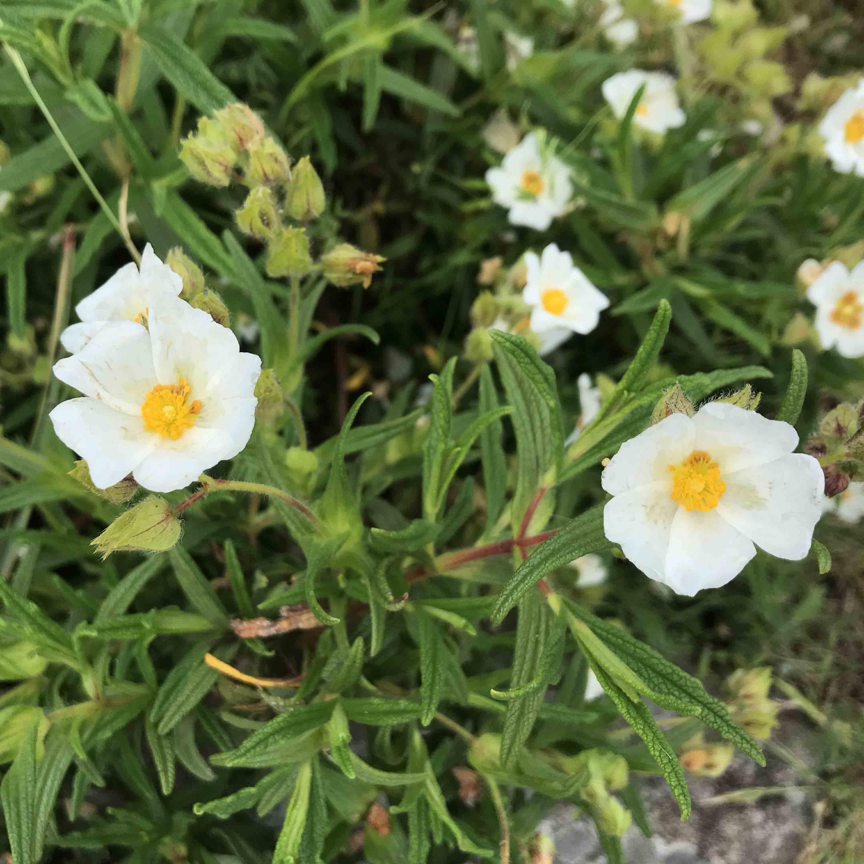 capraia fiori trekking