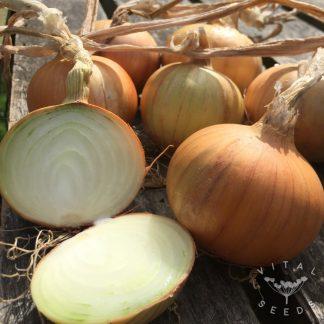 Onion - Bajosta