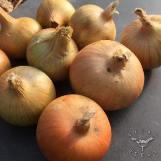 Onion - Bedford Champion