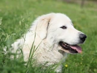 Pyrenäen-Berghund im Gras