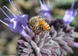 Honey Bee on Black Sage