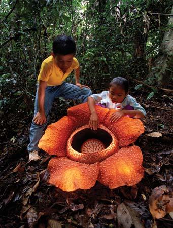 rafflesia flor mas grande mundo