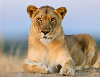 Blood Lions South Africa