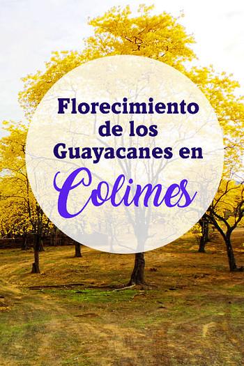 Que hacer en el florecimiento de los Guayacanes en Colimes Ecuador