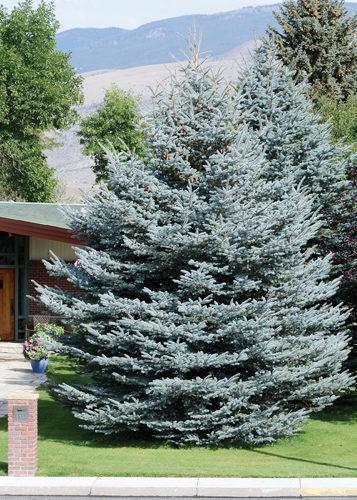 Fat Albert Spruce Full Tree