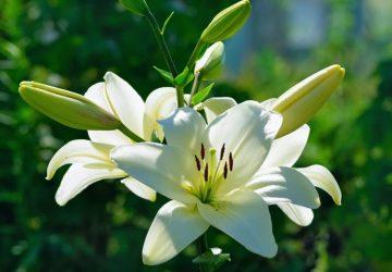 Giglio Bianco o Lilium Bianco