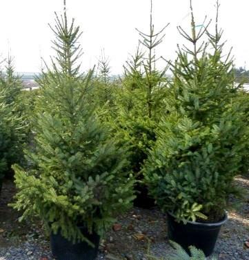 Picea omorika SIBIRISK GRAN stl.160-200cm