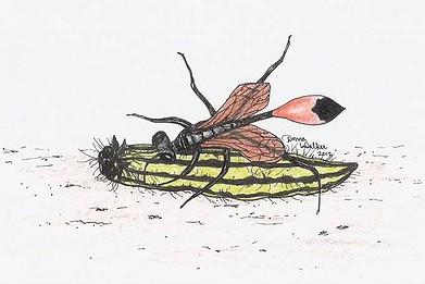 Digger Wasp with caterpillar