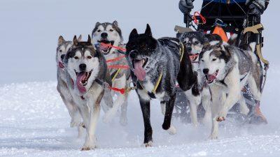Image: sled dog team pulling a sled