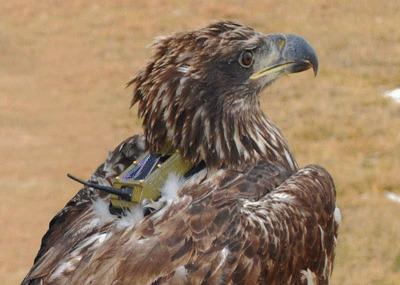 Birdtracking Bald Eagle, Photo: Lance Jordan