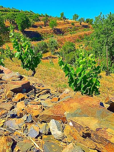 Carignan (Mazuelo) Wine Grapes Growing in Priorat, Spain | Winetraveler.com